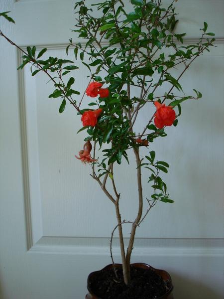 можно ли вырастить дерево дома