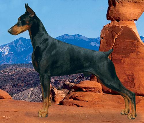 средняя собака