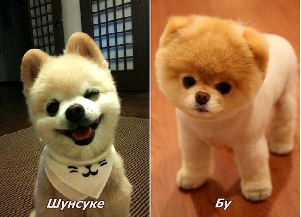 собака породы карликовый шпиц фото