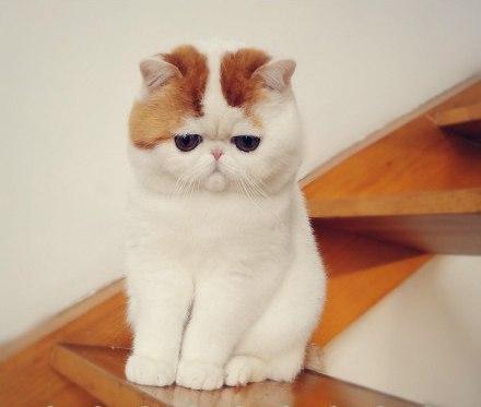 Экзотические котята фото