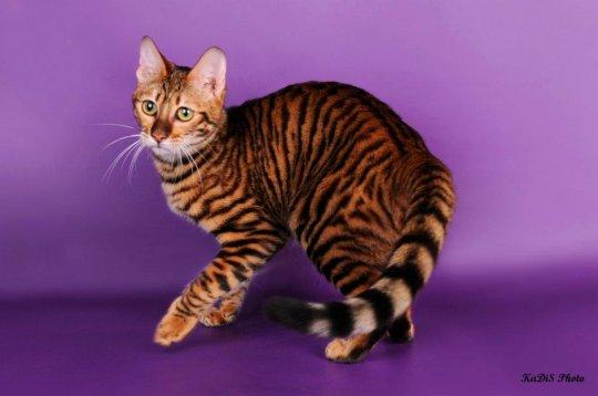 Тойгер кошка фото купить цена видео