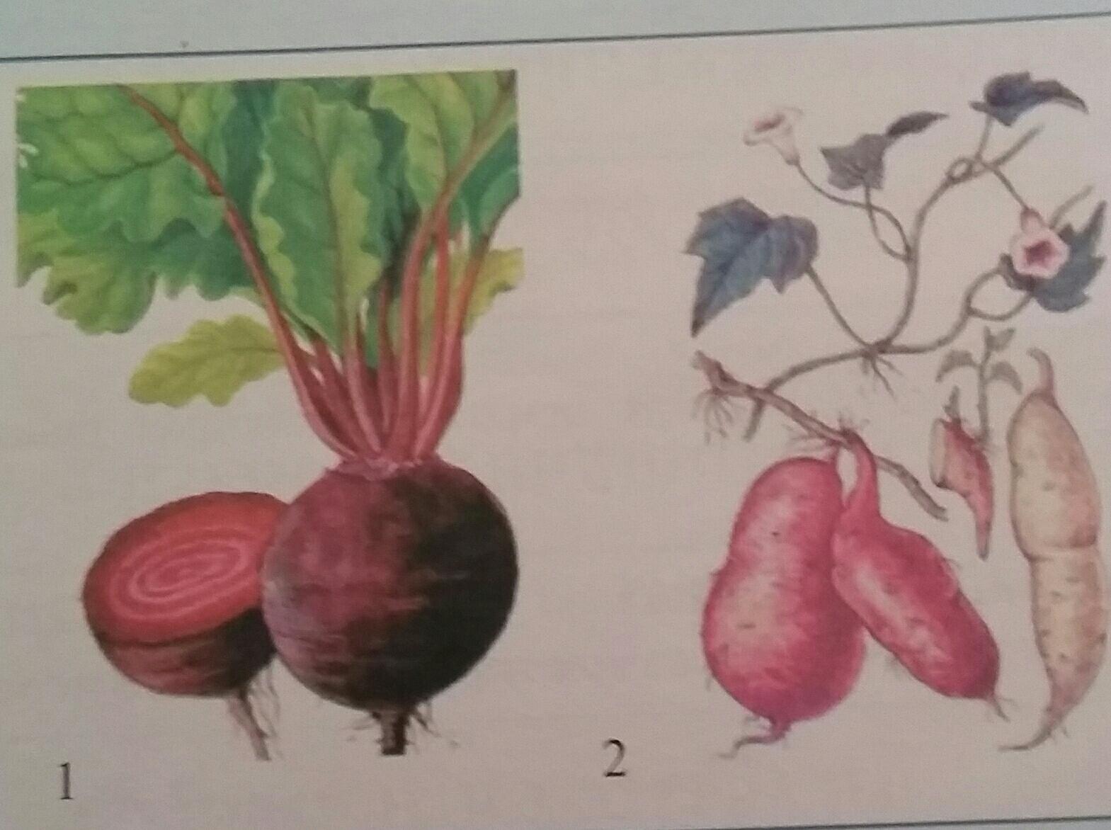 Отметь на картинке корнеплоды