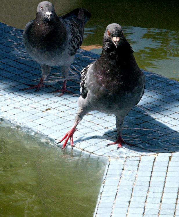 Прикольные картинки голубей, поздравления