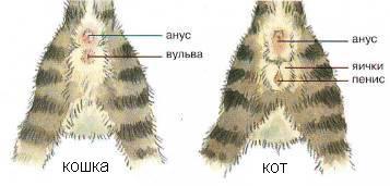 как распознать кота от кошки фото