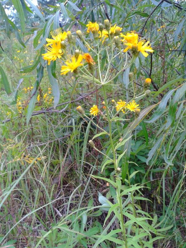 посетите лекарственные растения с желтыми цветами фото и названия его творческой карьере