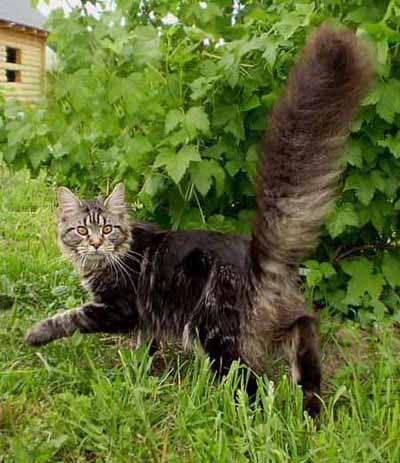 замер, очень пушистый котик прыгает вреде