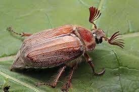 и майский фото жук июньский жук