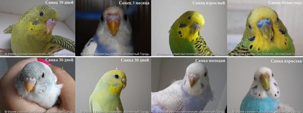 Как различать волнистых попугаев фото