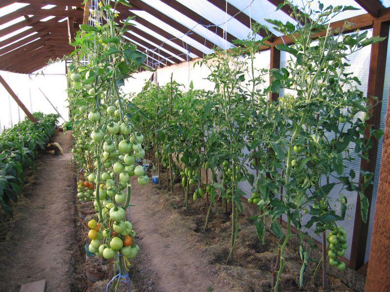 Идеальными для успешного развития томатов являются среднесуточные температуры от 16 до 28 градусов.