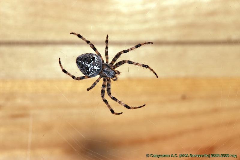 фото пауки с крестом на спине