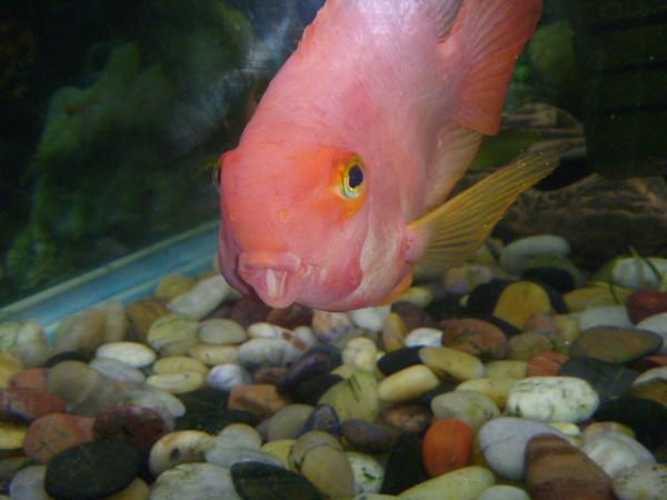 Каких рыбок можно держать вместе с гуппи