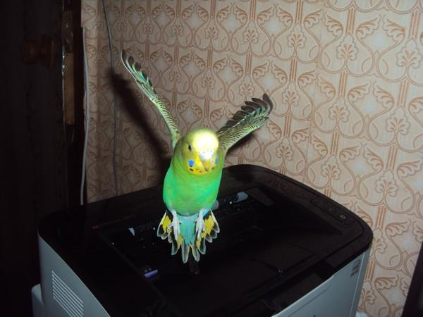 Волнистые попугаи приколы