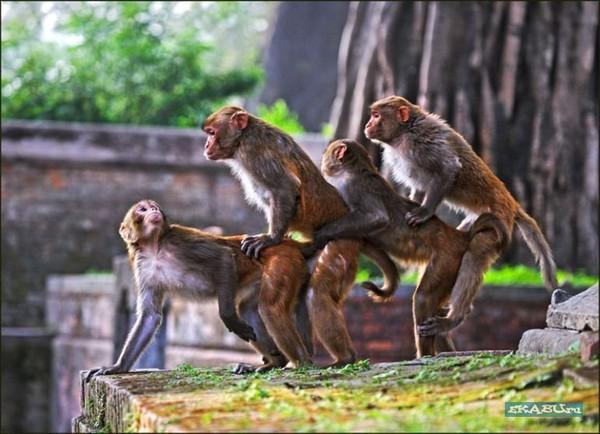 Секс обезьяна обезьяна