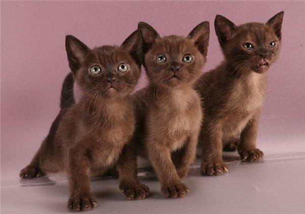 Бенгальская кошка фото, цена, котята бенгальской кошки ...