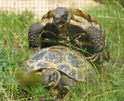 Черепахи трахаются