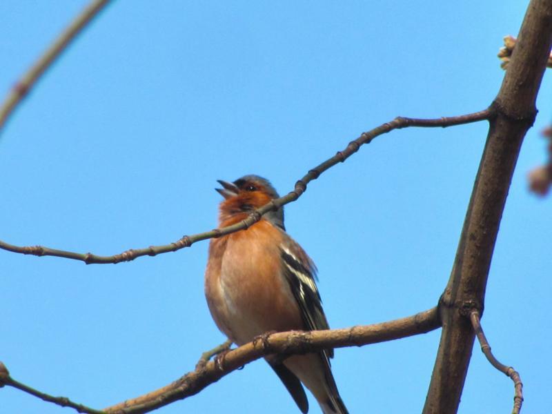 Птица с красной грудкой как она называется и где обитает