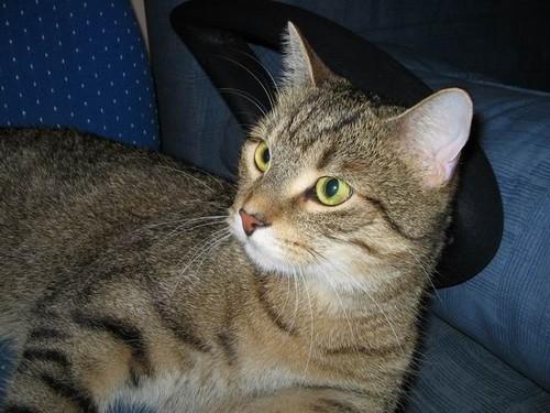 Порода кот обычный