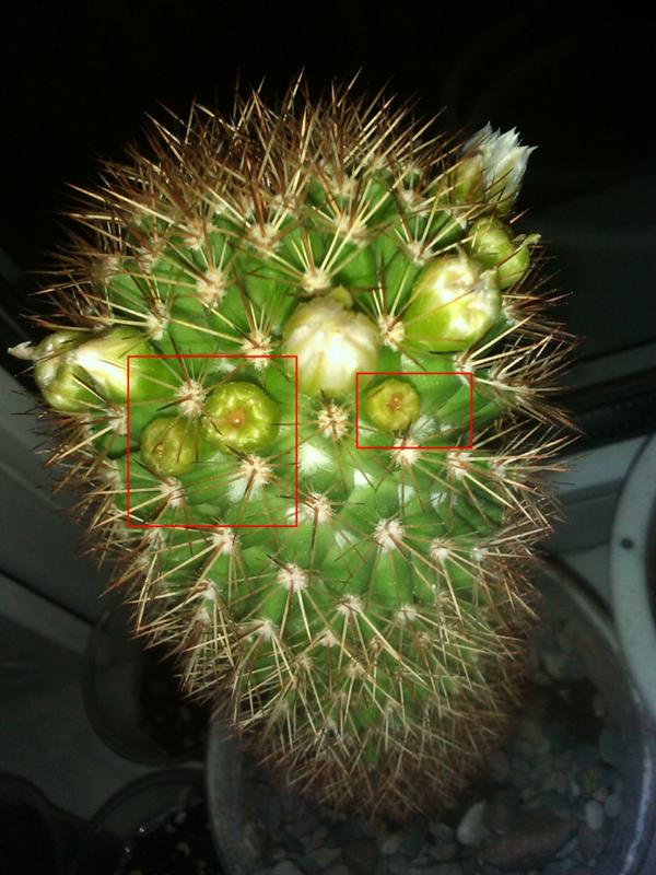 был тот какие бутоны у кактусов фото главных них