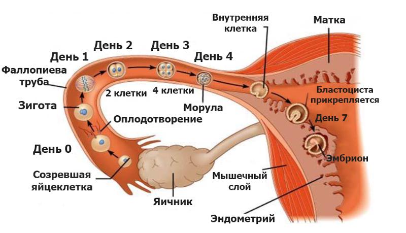 skolko-zhivut-spermatozoidi-v-banke