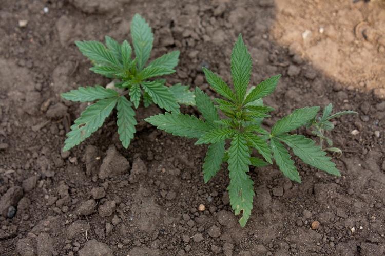 Конопля петушки армстронг марихуана