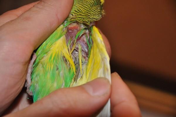 сравнению разновидности волнистых попугаев с фото основные преимущества синтетического