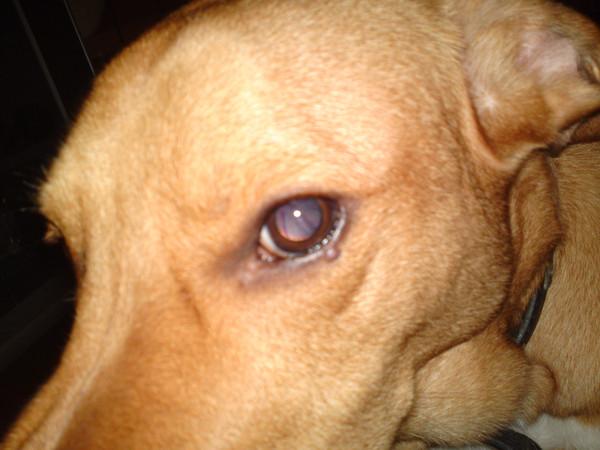 ячмень на глазу у собаки фото