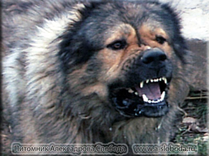 Мая, картинки злые собаки волкодавы