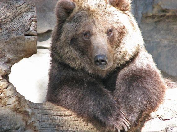 ухо медведя картинка интерактивной