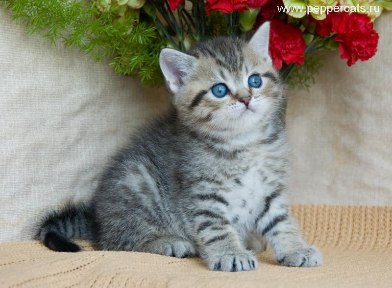 котят британца фото