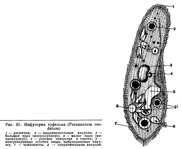 Строение инфузории туфельки таблица