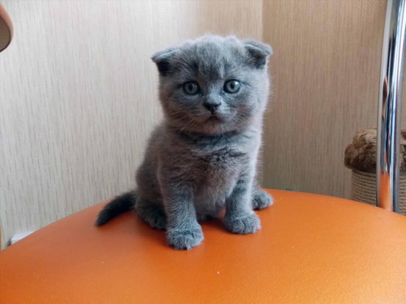 шотландские вислоухие голубые котята фото цена