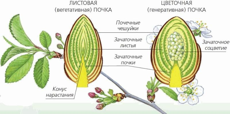картинка строение почки растения снимать