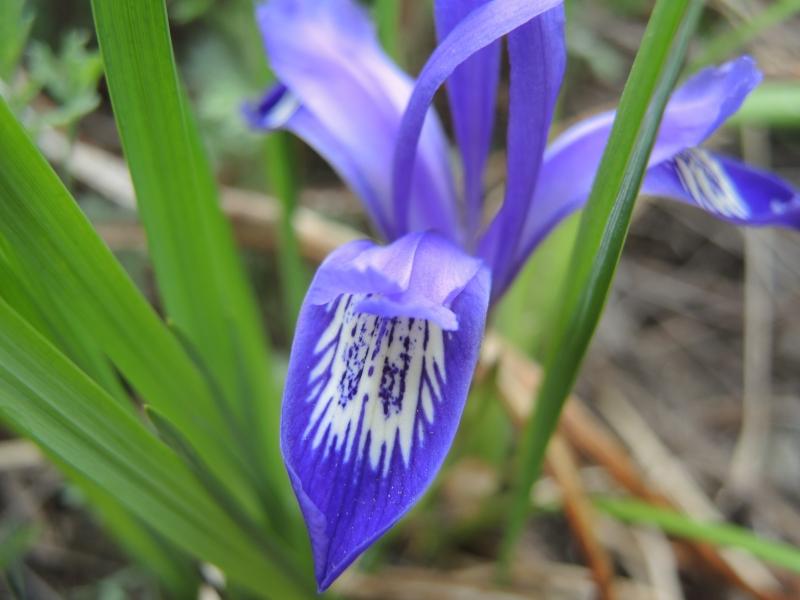 растение кукушкины слезки картинки способны высиживать яйца