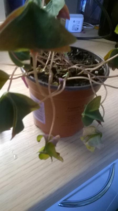 Цветок кислица почему сохнут листья фото
