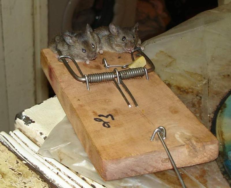 как ловить мышей играть