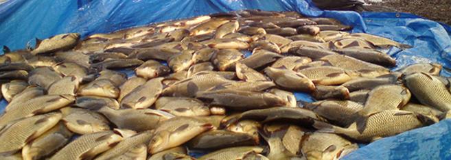 рыбалка убийца толстолобика снасть