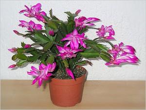 Декабрист цветок сонник
