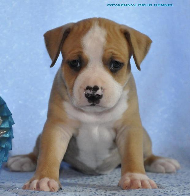 фото щенка стаффа