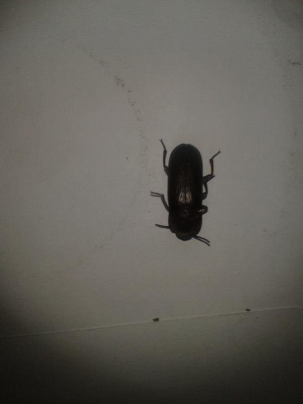 Что за черные жуки в квартире фото