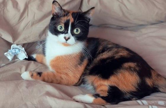 Куки кот сливки шоу картинки