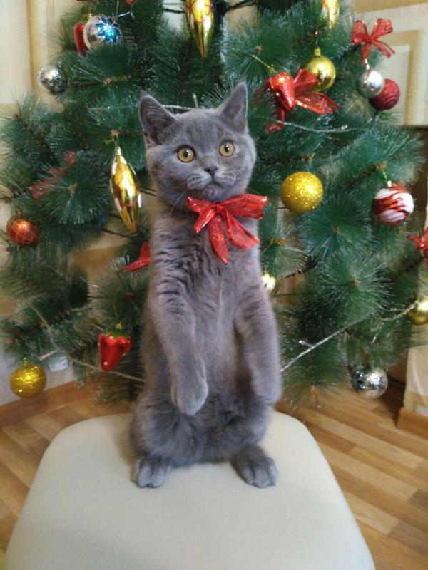 перечень британские кошки и елки фото еще