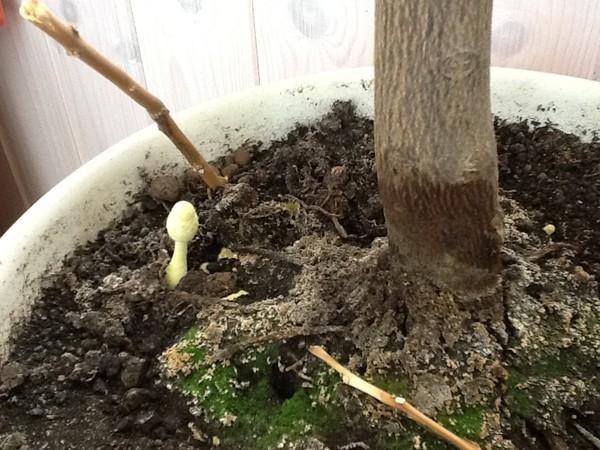 Вырос гриб с горшке с цветком