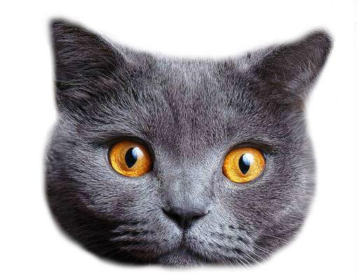 картинка голова кошки на белом фоне это