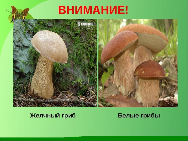 Грибы двойники белый гриб и желчный гриб