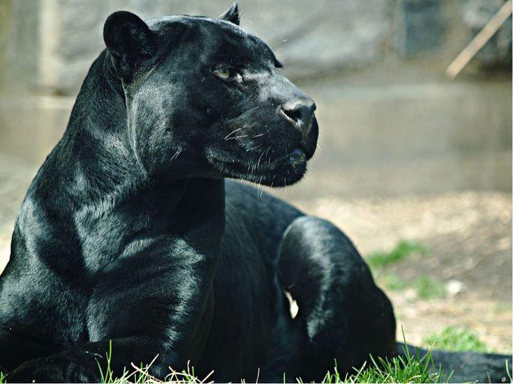 Фото человека пантеры