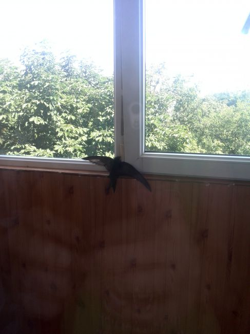Ответы@mail.ru: залетела ласточка на балкон что делать? помо.