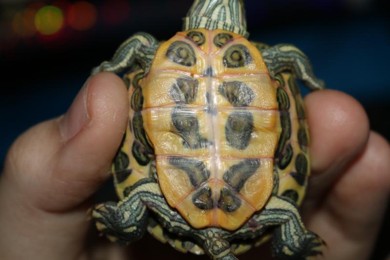 Живот красноухой черепахи