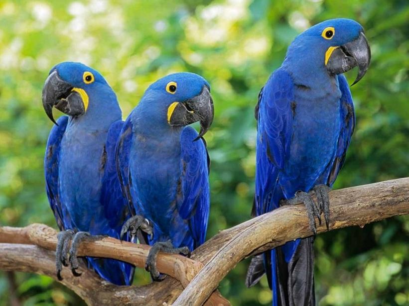 Голубая птичка как называется
