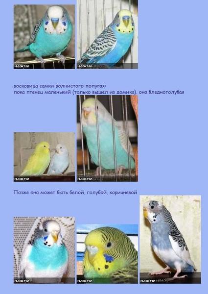 Как определить пол волнистого попугая видео