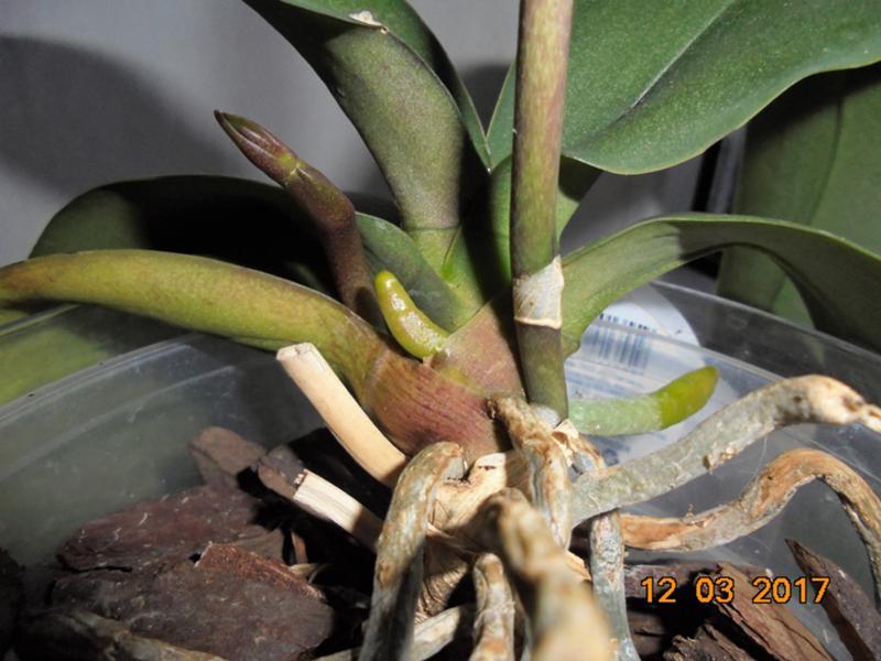 фото цветоносов и корней у орхидеи сандалии актуальном греческом